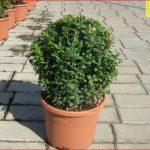 Растения для стрижки в ландшафтном дизайне.