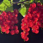 Полное руководство по выращиванию красной смородины
